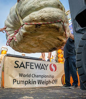 2015 Weigh-off pumpkin being lifted onto scale closeup