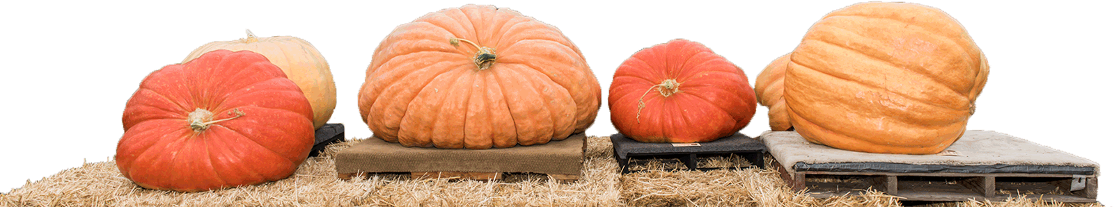 palettes of weigh off contestant pumpkins