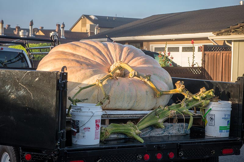 2015 Weigh-off giant pumpkin with stem in water awaits its turn on the scale
