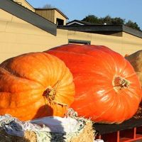 2018 Pumpkin Weigh-Off giant pumpkins lineup